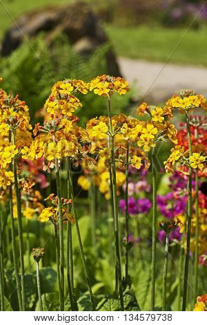 A bed of brightly coloured wallflowers with a natural background setting