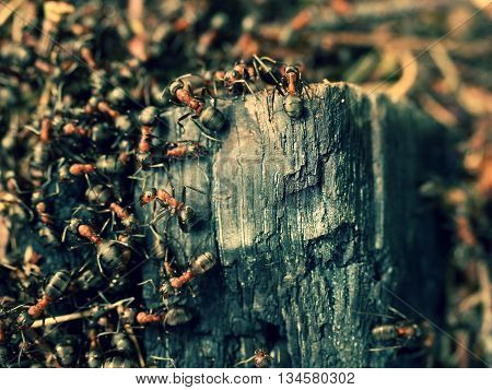 Wild Ants Build Their Anthill, Big Piece Of Charred Wood.