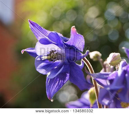 Close-up image of a Columbine flower (Aquilegia vulgaris).