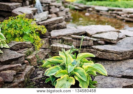 Hosta close up and pond with stones. limestone