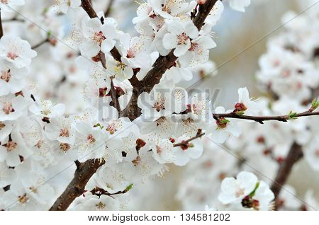 Spring flowering apricot branch fruit tree. Apricot tree.