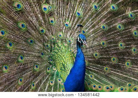 Side view of a male peacock while mating