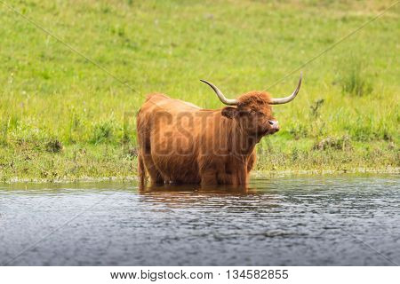 Scottish highland beef in grassland and water