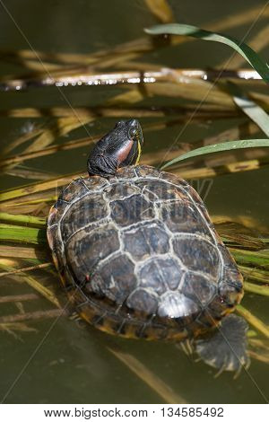 Top view on red-eared turtle (Trachemys scripta elegans)