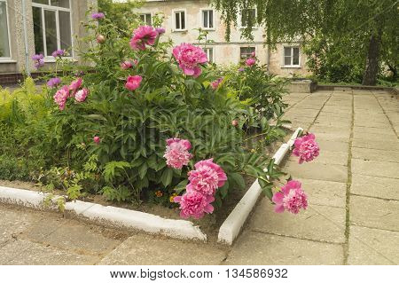 Flowerbed with beautiful flower of the peony on background of the building