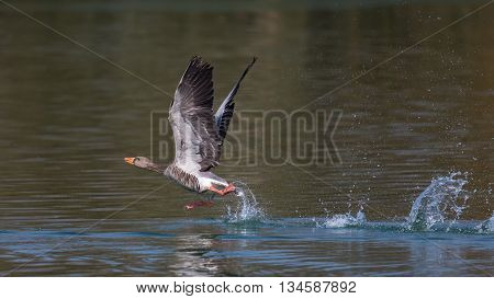 Grey Goose (Anser anser) taking off from green water