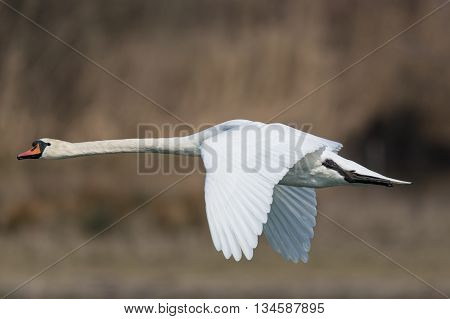 Mute swan (Cygnus olor) during flight with natural background