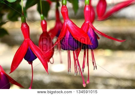 Hardy fuchsia magellicana red and purple on multi-bloom bush