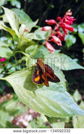 Australian Orange palm dart moth (Cephrenes) perched on a garden leaf. Day flying moth.