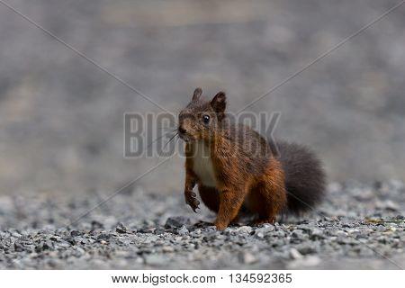 Eurasian red squirrel (Sciurus vulgaris) within stones