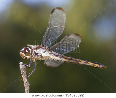 Big dragonfly with brown and green eyes on a stick