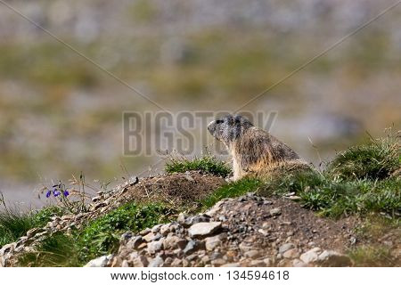 groundhog (Marmota monax) sitting beneath its cave