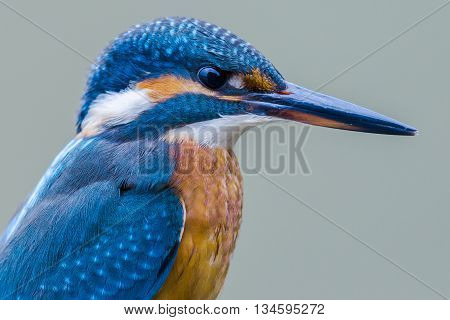 Portrait of a Eurasian kingfisher (Alcedo atthis)