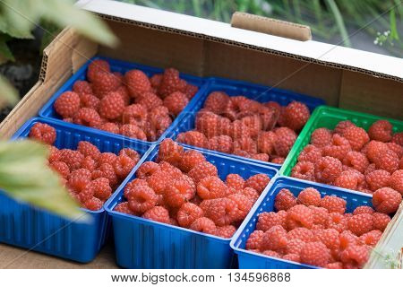 Juicy organic Norwegian raspberies in a coloful boxes. Fresh berries just picked up in the garden in a countryside ready for healthy snacks and desserts.