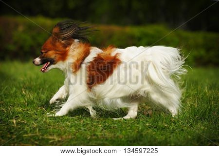 decorative dog Papillon summer running at large without leash