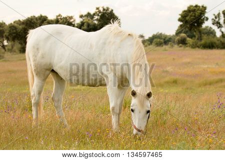 Beautiful white horse grazing in a field full of yellow flowers