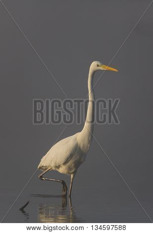 Great White Heron (Egretta Alba) standing in the sunlight on a foggy day