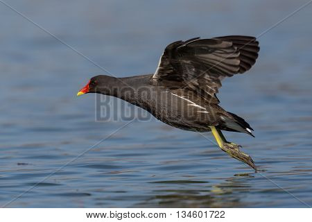Flying common moorhen (Gallinula chloropus) taking off