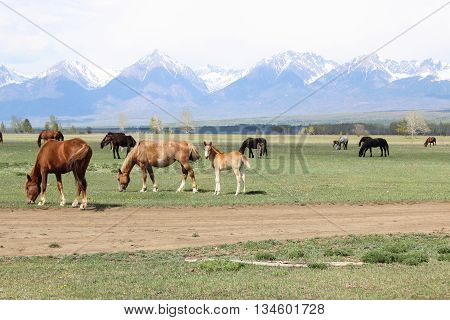 Horses and foals are grazed on a meadow