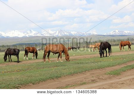 Horses are grazed in the valley at mountains