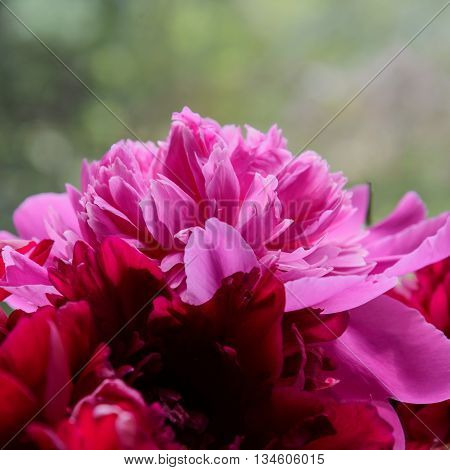 Pink Peony Flower Petal Background. Paeonia Lactiflora