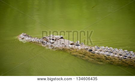 WANGETTI QLD/AUSTRALIA - OCT 24 2015: Saltwater crocodile swimming in water at Hartleys's Crocodile Adventures Queensland Australia.