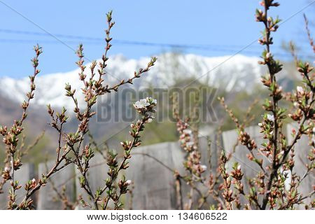 Cherry tree in a garden in the spring