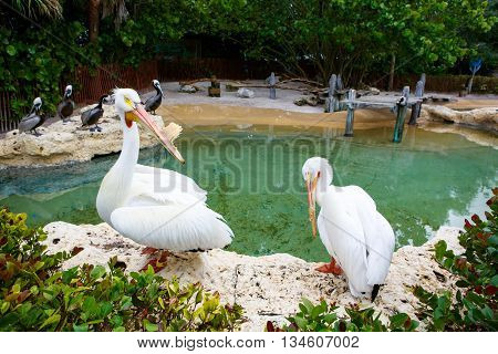 Big white pelicans on Islamorada, Florida Keys. Birds waiting for fish