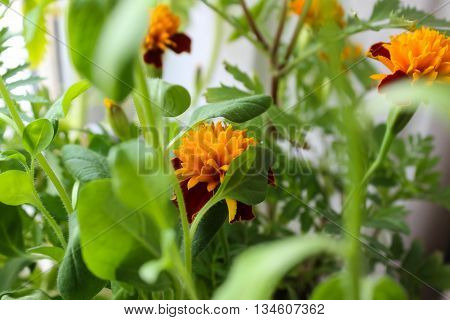 Small yellow red marigolds among green foliage