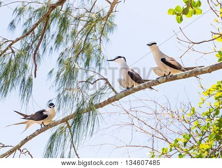 Three Bridled Terns (Onychoprion anaethetus) perched on a tree branch at Low Isles, part of the Great Barrier Reef, in the Coral Sea, near Port Douglas, Queensland, Australia.