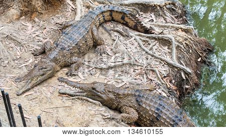 WANGETTI QLD/AUSTRALIA - OCT 24 2015: Two freshwater crocodiles on land, at Hartleys's Crocodile Adventures, Queensland, Australia.