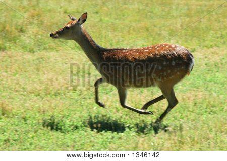 Rain Deer Running