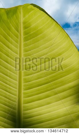 Banana leaf green nature Clouds and sky background