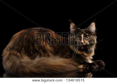 Maine Coon Cat Lying Rest and Looking in Camera Isolated on Black Background, Side view