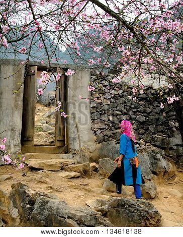 HA GIANG, VIETNAM, February 18, 2016 plum blossom, highland Ha Giang, Vietnam, bloom in spring. Hmong girls roam gardens