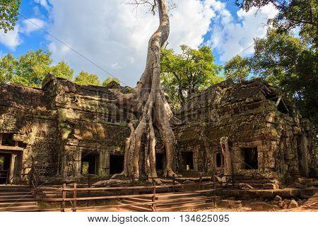 The big tree in Ta Prohm temple, ancient architecture in Cambodia