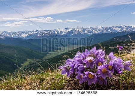 Beautiful floral background with blue flowers snowdrops close up growing in the highlands on the background of snowy mountains valleys blue sky and clouds