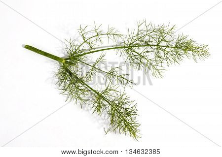 Three Green Stems And Leaves Of Fennel Plant