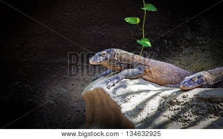 Komodo dragon resting on a rock near the cave. Giant Indonesian lizard. Varanus komodoensis. Animals