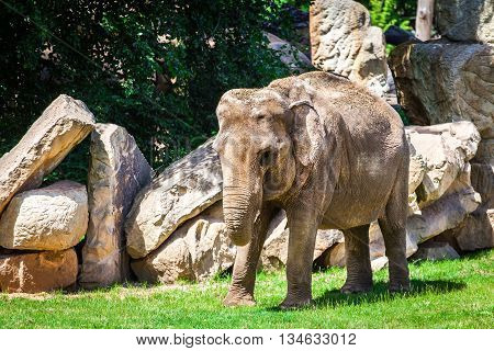 Young African elephant walking on the grass among the rocks. Elephantidae. Elephant in the wild.