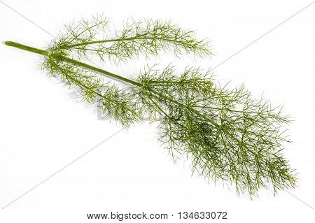 Studio Shot Of Stem And Leaves Of Fennel Plant