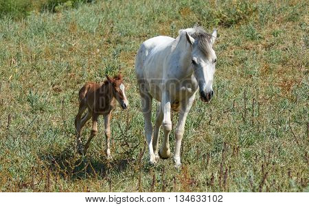 Mother horse and baby horse walking on grass.
