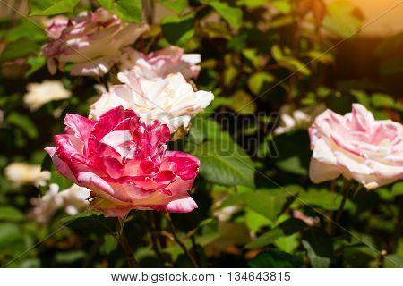 Blooming pink rose on a green branch on flowerbed in garden. Resort village Bali Rethymno Crete Greece