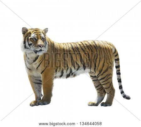 Digital Painting of Tiger isolated on White
