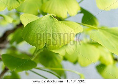 Close-up of Ginkgo Biloba leaves (Maidenhair tree)