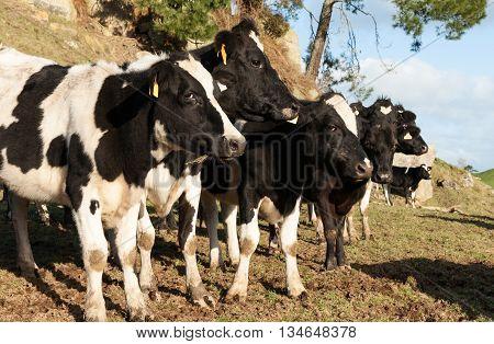 Friesian cows ina row black and white closeup.