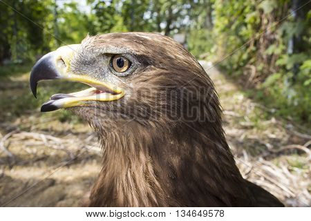 portrait of the proud eagle on a background of foliage