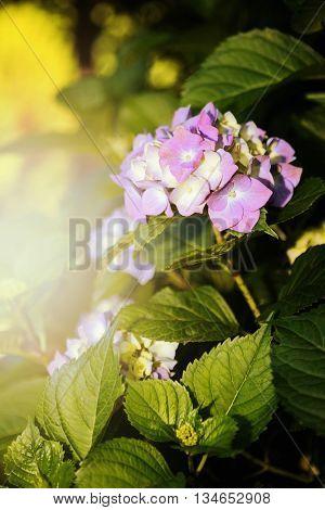 Mophead Hydrangea - Hydrangea macrophylla 'Endless Summer'