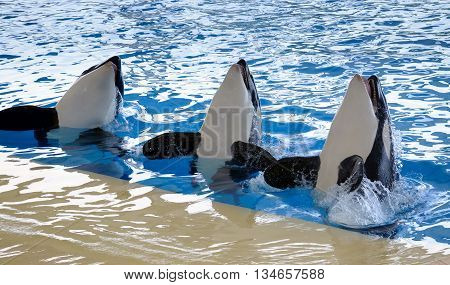 Killer whales dancing in water of oceanarium