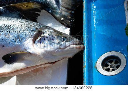 Salmon In Market